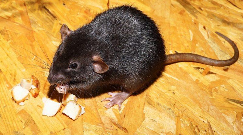 Szczury opanowały Polinezję, teraz walczy się z nimi dronami