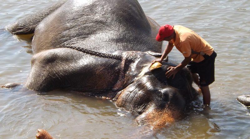 słoń podczas kąpieli, myty przez opiekuna